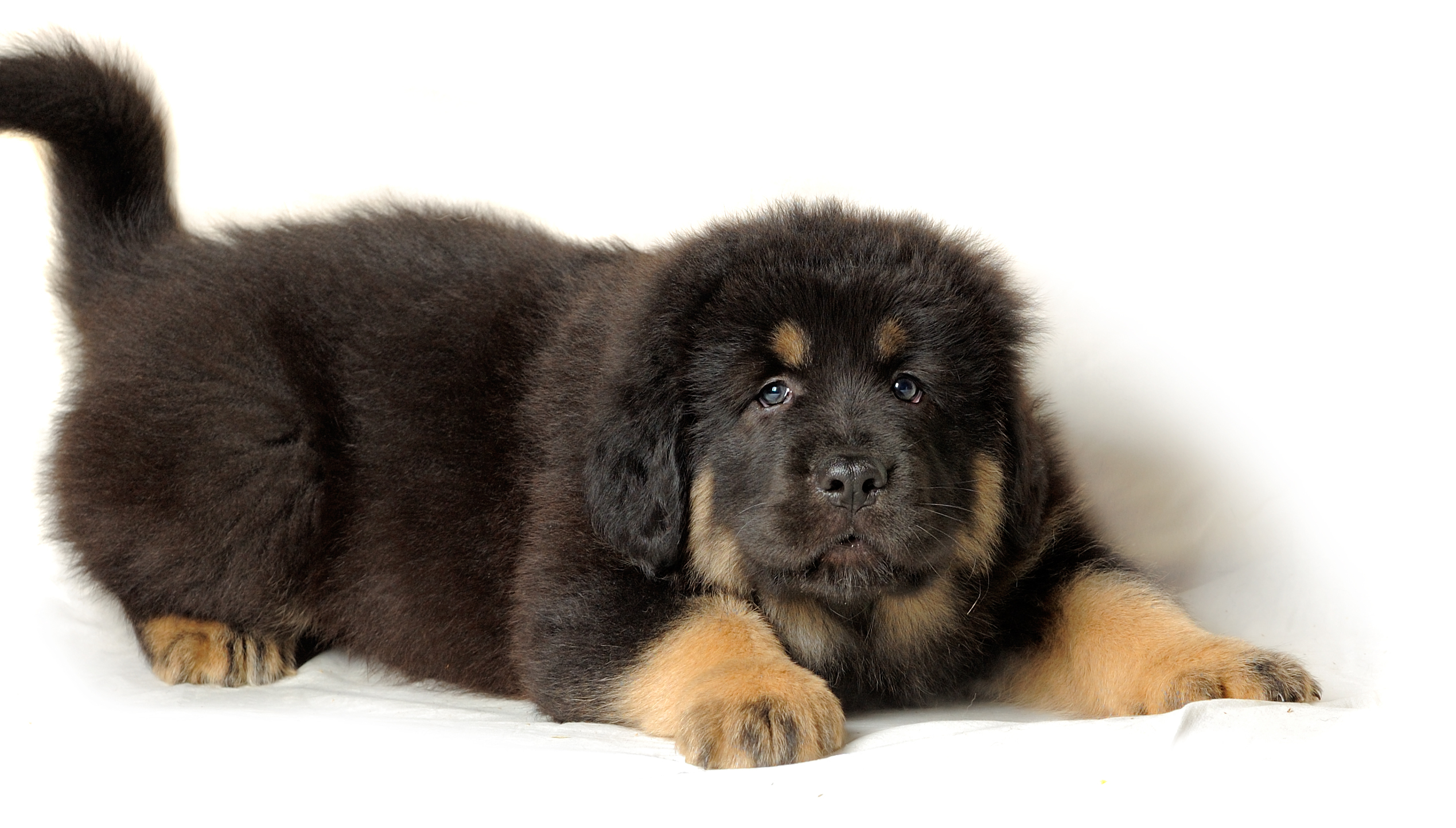Black Great Pyrenees Dog For Sale