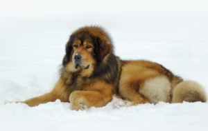 Tibetan Mastiff HD Wallpaper