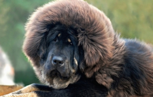 Tibetan Mastiff High Definition