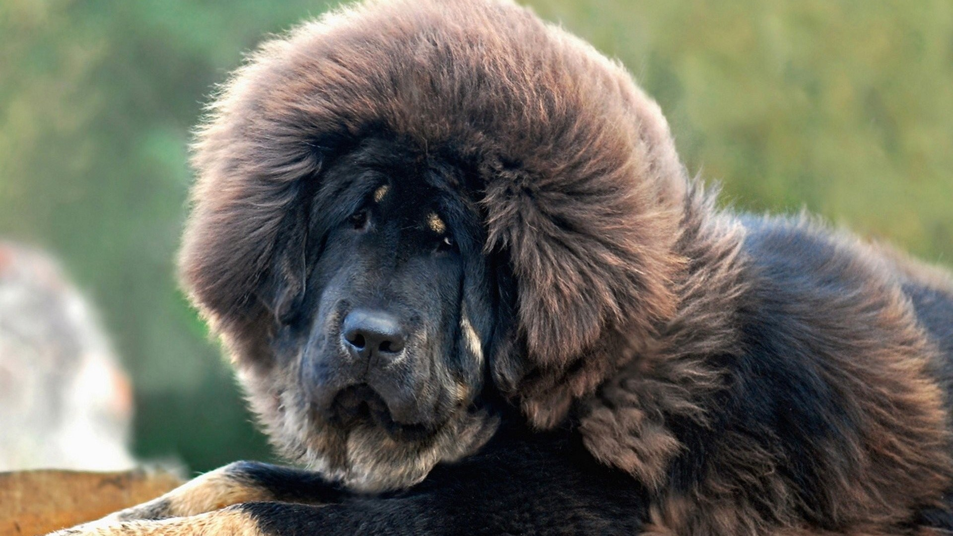 tibetan mastiff hd wallpapers