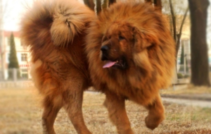 Tibetan Mastiff High Quality Wallpapers