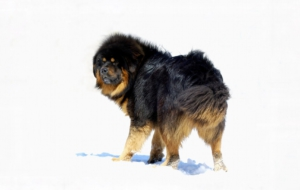 Tibetan Mastiff Wallpapers