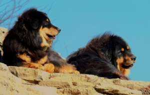 Tibetan Mastiff Wallpapers HD