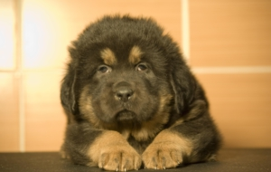 Tibetan Mastiff For Deskto