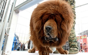 Tibetan Mastiff Full HD