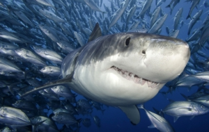 Tiger Shark High Definition Wallpapers