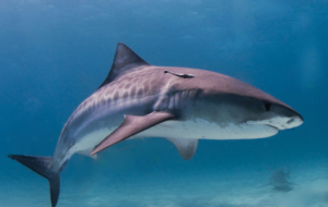 Tiger Shark Wallpapers