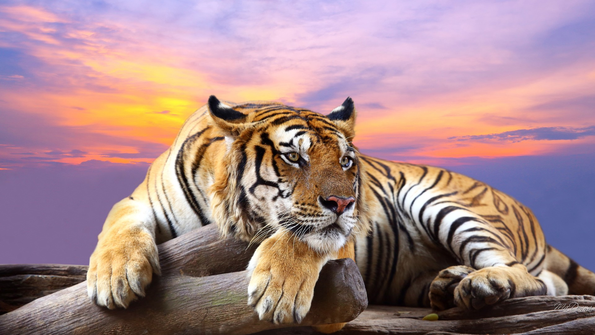 Tiger hd wallpapers - Animal 1920x1080 ...