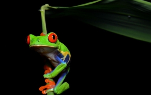 Tree Frog Images