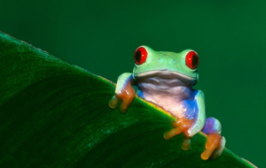 Tree Frog Wallpapers HD
