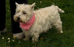 West Highland Terrier 4K