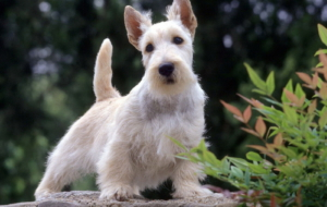 West Highland Terrier Computer Wallpaper
