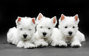 West Highland Terrier Desktop