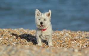 West Highland Terrier HD