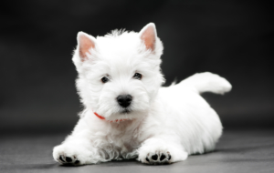 West Highland Terrier HD Background