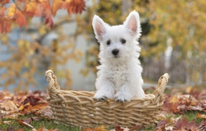 West Highland Terrier Photos