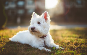 West Highland Terrier Wallpapers