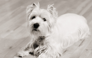 West Highland Terrier For Deskto