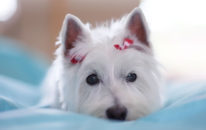 West Highland Terrier Full HD
