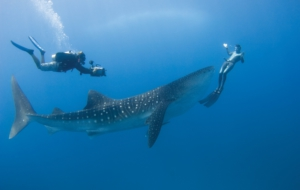 Whale Shark High Definition Wallpapers