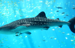 Whale Shark Images
