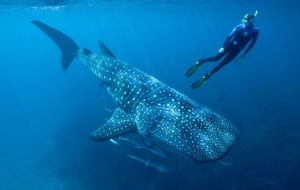 Whale Shark Photos