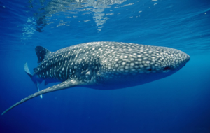 Whale Shark Pictures