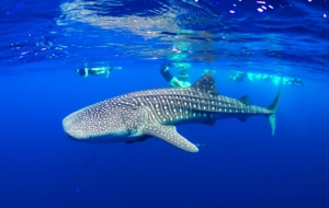 Whale Shark Wallpaper