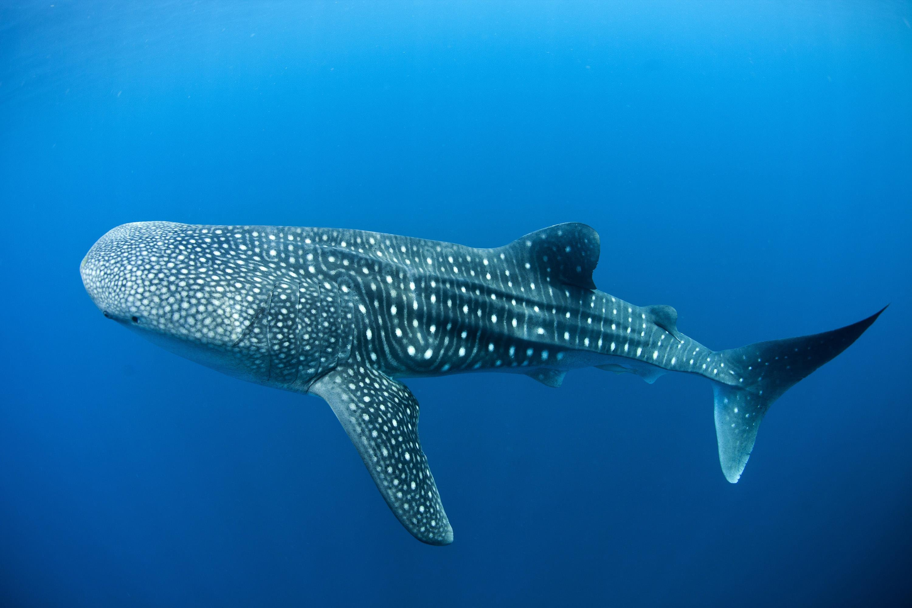 Whale Shark HD Wallpapers