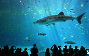 Whale Shark Widescreen