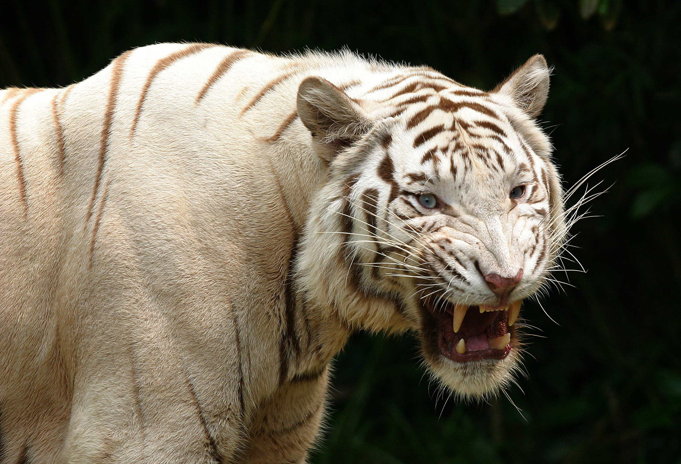 White Tiger HD Wallpapers