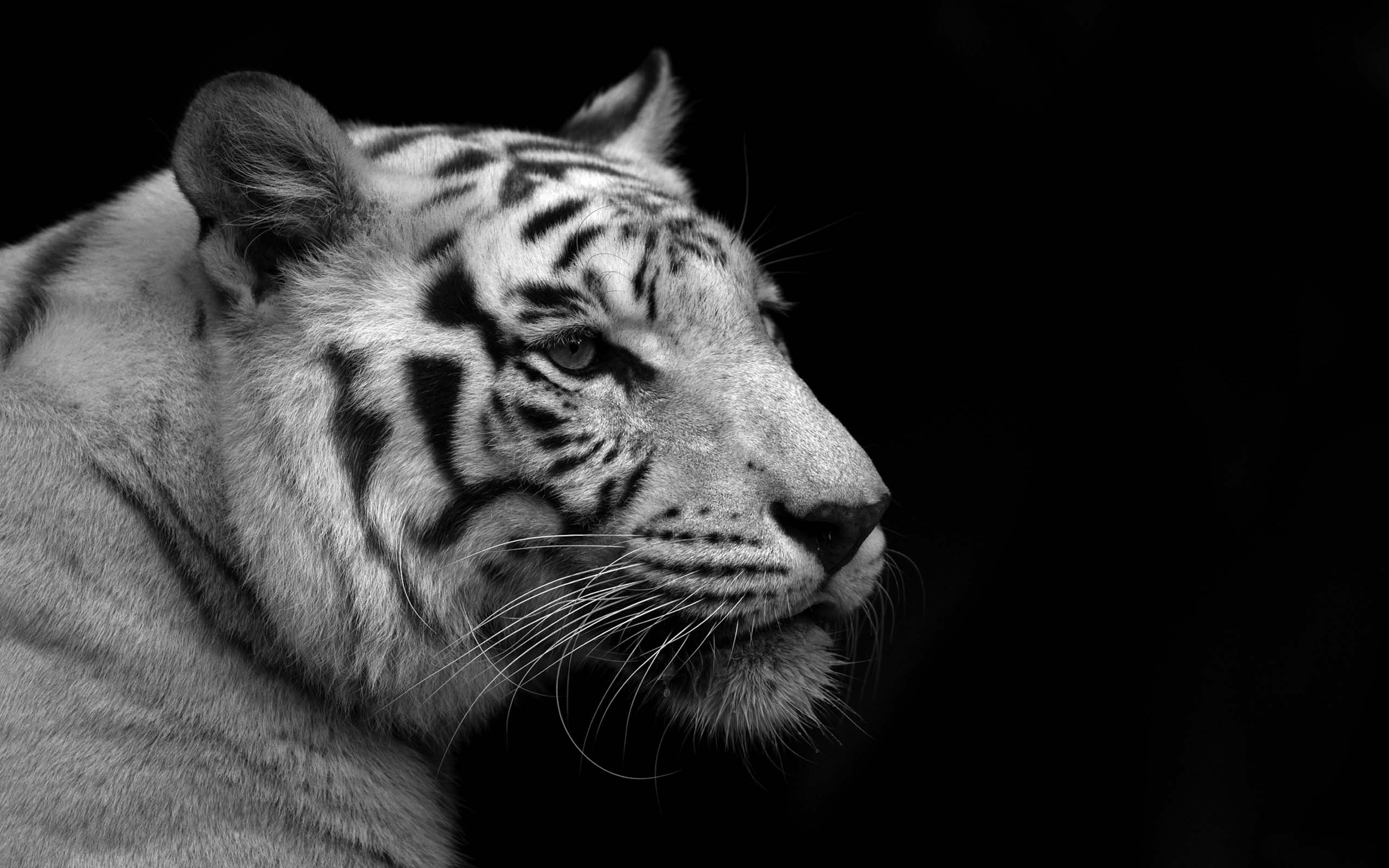 Black And White Tiger Background White Tiger HD Wallpap...
