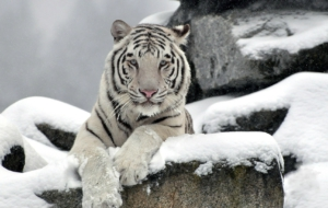 White Tiger Deskto