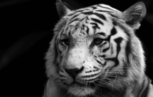 White Tiger HD