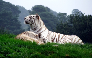 White Tiger HD Deskto
