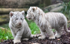 White Tiger High Definition