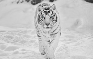 White Tiger For Deskto