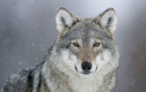 Wolf High Definition Wallpapers
