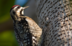 Woodpecker HD Background