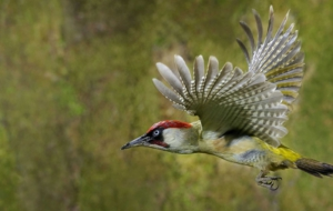 Woodpecker High Quality Wallpapers