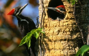 Woodpecker Images