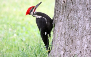 Woodpecker Wallpapers