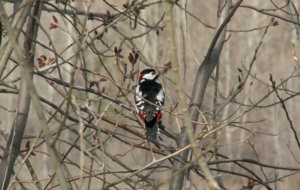 Woodpecker For Deskto