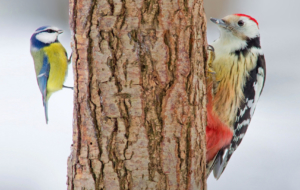 Woodpecker Full HD