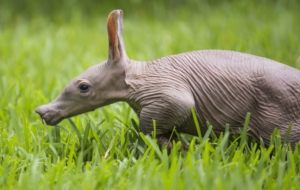 Aardvark Background