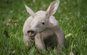 Aardvark HD Wallpaper