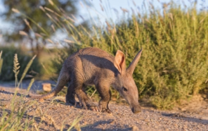 Aardvark High Definition Wallpapers
