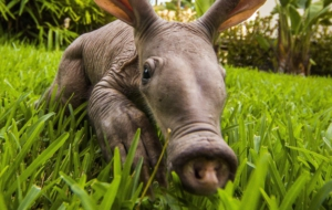 Aardvark Wallpapers