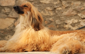 Afghan Hound HD Wallpaper