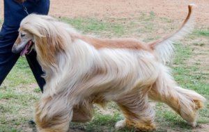 Afghan Hound Photos